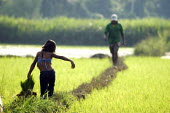 A young girl helps her father harvest rice from a paddy field, Peru - Geoff Crawford - 11-02-2004