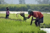 A farmer harvests rice from a paddy field, Peru - Geoff Crawford - 11-02-2004