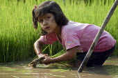 A young girl harvesting rice from a paddy field, Peru - Geoff Crawford - 11-02-2004