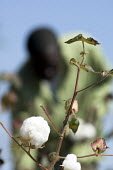 A farmer picks his cotton crop , Zambia - Geoff Crawford - 2000s,2007,african,africans,agrarian,AGRICULTURAL,agriculture,bud,buds,by hand,capitalism,capitalist,Cotton,crop,crops,cultivating,EBF economy,estate,estates,farm,farm worker,farm workers,farmed,farme