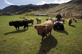 Drew Harris is one of the long-time residents of the Knoydart Peninsula in North-West Scotland. He is the estate manager at Kilchoan which owns this herd of Highland cattle. Quad bikes are coomonly us... - Gerry McCann - 03-05-2006