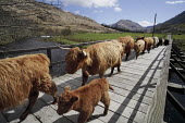The Knoydart Peninsula in North-West Scotland comprises a number of estates. This is the bridge at Kilchoan. Herd of Highland cattle. - Gerry McCann - 03-05-2006