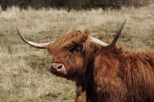 The Knoydart Peninsula in North-West Scotland comprises a number of estates. This is at Kilchoan which owns this herd of Highland cattle. - Gerry McCann - 03-05-2006