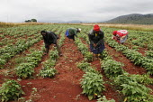 Workers cultivating a small piece of land, at a community-based scheme in a rural shanty town to support children orphaned by AIDS and related illnesses. Organised by SWAPOL (Swaziland for Positive Li... - Gerry McCann - 26-04-2005