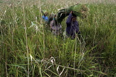 Local women harvest grass to make into twine, to make local products to sell at the market, (they apply mud to their faces as protection from the sun) at iSimangaliso Wetland Park, on South Africas ea... - Gerry McCann - 29-04-2005