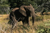 An elephant at iSimangaliso Wetland Park, on South Africas east coast (also called Elephant coast). - Gerry McCann - 01-05-2005