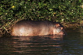 A hippopotamus at iSimangaliso Wetland Park, on South Africas east coast (also called Elephant coast). - Gerry McCann - 30-04-2005