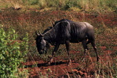 A wildebeeste at iSimangaliso Wetland Park, on South Africas east coast (also called Elephant coast). - Gerry McCann - 01-05-2005