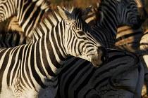 Zebras at iSimangaliso Wetland Park, on South Africas east coast (also called Elephant coast). - Gerry McCann - 01-05-2005