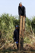 Two man deciding on the direction of the cutting, at a Sugarcane farm which employs mainly migrant workers. At St.Lucia, on South Africa's east coast. - Gerry McCann - 04-05-2005