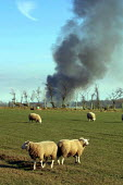 Sheep in Cumbria near a pyre of sheep and cattle infected with foot and mouth disease. These healthy sheep are condemned to be slaughtered in a preventative cull because they are within three kilometr... - Paul Herrmann - 19-03-2001