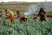 Agricultural workers pulling and cutting leaks in a field on a farm in the Cotswolds. - John Harris - 14-02-2002