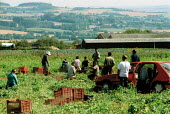 Casual agricultural workers picking peas in the Cotswold hills. They are brought in by gangmasters and the peas are destined for supermarkets - in this instance Marks and Spencer. - John Harris - 22-08-2002