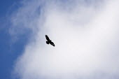 A common buzzard (BUTEO BUTEO) flying over farmland. - John Harris - 2010,2010s,animal,animals,bird,bird of pray,birds,country,countryside,eni,environment,Environmental Issues,flying,nature,outdoors,outside,raptor,rural