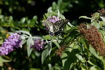 A rare Swallowtail butterfly (Papilio machaor) feeding on a buddleia bush in a garden. - John Harris - 30-08-2005