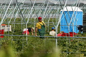 Gangmaster and workers picking strawberries in Wawickshire - John Harris - 2000s,2005,agricultural,agriculture,capitalism,capitalist,crop,crops,Diaspora,eastern European,EBF Economy,employment agencies,employment agency,farm,farm worker,farm workers,farmed,farmhand,farmhands