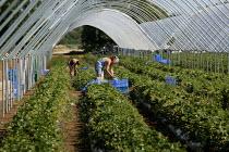 Polish migrant workers picking strawberries in Bretforton. Fusion Personnel. - John Harris - 2000s,2005,agricultural,agriculture,capitalism,capitalist,crop,crops,Diaspora,eastern European,EBF Economy,employment agencies,employment agency,farm,farm worker,farm workers,farmed,farmhand,farmhands