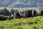 Gangmaster and workers picking peas in Wawickshire - John Harris - 2000s,2005,agricultural,agriculture,ASIAN,ASIANS,BLACK,BME Black minority ethnic,Bomfords Ltd,by hand,capitalism,capitalist,crop,crops,Diaspora,EARNINGS,EBF Economy,employment agencies,employment agen