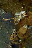 Frogs mating in a pond - John Harris - 29-03-2006