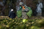 Sprout pickers at work, Chipping Campden, Cotswolds, Gloucestershire. Migrant workers - John Harris - 2000s,2006,age,ageing population,AGRICULTURAL,agriculture,asian,bag,bags,black,BME Black minority ethnic,brussels sprout,brussels sprouts,buy,buyer,buyers,BUYING,capitalism,capitalist,carries,carry,ca
