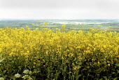 Field of oil seed rape near Chipping Campden as Advanta Seeds UK admitted that hundreds of farms unknowingly planted genetically modified rapeseed which could lead to widespread contamination of crops... - John Harris - 20-05-2000