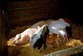 Sow feeding piglets in a pigsty on a farm. - John Harris - 2000,2000s,AGRICULTURAL,agriculture,animal,animals,business,capitalism,capitalist,domesticated ungulate,domesticated ungulates,ebf,EBF economy business,Economic,economy,FARM,farmed,farming,feeding,Ind
