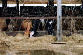 Rain as cows eat hay in a cow shead on a farm. - John Harris - 2000s,2001,AGRICULTURAL,agriculture,animal,animals,buildings,capitalism,capitalist,CATTLE,cow,cows,cowshed,cowsheds,domesticated ungulate,domesticated ungulates,eating,ebf economy,ENI environmental is
