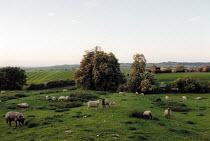 Sheep grazing on green pasture on a farm in Warwickshire. - John Harris - 08-06-2001