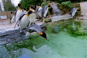 King Penguins, Penguin enclosure Bourton on the Water Bird Gardens. - John Harris - 11-03-2002