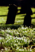 Snowdrops growing in a Church graveyard, spring is on its way, Warwickshire - John Harris - 03-02-2003