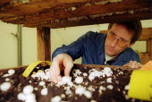 Scientist at Horticulture Research International examining mushrooms. HRI Wellesbourne, Warwickshire - John Harris - 2000s,2003,a,AGRICULTURAL,agriculture,at,biological,BIOLOGY,biotech,biotechnology,capitalism,capitalist,control,controls,crop,crops,cultivating,cultivation,ebf economy,examining,Experiment,experimenta