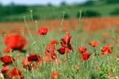 Field full of poppies, Warwickshire. - John Harris - 13-06-2003