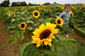 Child running through a field of sunflowers on a farm in the Cotswolds. - John Harris - 03-09-2003