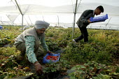 Irag Kurds picking on a strawberry farm in the Vale of Evesham. Fusion Personel are working with The Ethical Trading Initiative to set up a licensing and registration scheme for Gangmasters to try and... - John Harris - 2000s,2003,agricultural,agriculture,arable,asian,ASIANS,BAME,BAMEs,black,BME,bmes,capitalism,capitalist,casual,country,countryside,crop,crops,Diaspora,diversity,EARNINGS,EBF,Economic,Economy,employmen