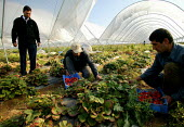 Irag Kurds picking on a strawberry farm in the Vale of Evesham. Fusion Personel are working with The Ethical Trading Initiative to set up a licensing and registration scheme for Gangmasters to try and... - John Harris - 2000s,2003,agricultural,agriculture,arable,asian,BAME,BAMEs,black,BME,bmes,capitalism,capitalist,casual,country,countryside,crop,crops,Diaspora,diversity,EARNINGS,EBF,Economic,Economy,employment agenc