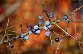 Sloe berries in an autumn hedgerow. Berry-bearing bushes sustain songbirds and mammals through the winter. - John Harris - 2000s,2003,autumn,autumnal,berries,berry,biodiversity,bird,birds,blue,country,countryside,ENI environmental issues,flailing,fruit,fruits,hedge,hedgerow,hedgerows,hedges,nature,outdoors,outside,plant,p