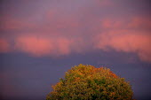 Clouds and autumnal tree lit by a sunset. - John Harris - 23-10-2003