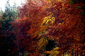 Autumnal colors of trees, Warwickshire. - John Harris - 2000s,2003,a,autumn,Autumnal,Beech,blow,blowing,BRANCH,branches,climate,color,colorful,colorfull,colors,colour,colourful,COLOURS,country,countryside,ENI environmental issues,fall,forest,gale,golden,gr