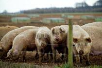 Free range pigs on a farm in Warwickshire. - John Harris - 2000s,2004,agricultural,Agriculture,animal,animals,capitalism,capitalist,country,countryside,domesticated ungulate,domesticated ungulates,EBF economy,eni environmental issues,farm,farmed,farming,farml