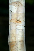 Silver birch tree bark. - John Harris - 20-03-2004