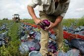 Picking red cabbages by hand, Vale of Evesham. - John Harris - 2000s,2004,agricultural,agriculture,arable,cabbage,cabbages,capitalism,capitalist,crop,crops,Diaspora,eastern,EBF economy,employment agencies,employment agency,eu,european,europeans,farm,Farm Worker,f