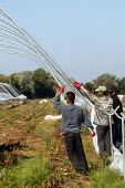 Migrant farm workers taking down polytunnels used to grow strawberries, Fusion Personnel, Bretforton, Vale of Evesham - John Harris - 2000s,2004,agricultural,agriculture,BAME,BAMEs,black,BME,bmes,by hand,capitalism,capitalist,crop,crops,Diaspora,diversity,EBF economy,employment agencies,employment agency,ethnic,ethnicity,farm,farm w