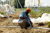 Migrant farm workers taking down polytunnels used to grow strawberries, Fusion Personnel, Bretforton, Vale of Evesham - John Harris - 2000s,2004,agricultural,agriculture,asian,ASIANS,BAME,BAMEs,black,BME,bmes,by hand,capitalism,capitalist,crop,crops,Diaspora,diversity,EBF economy,employment agencies,employment agency,ethnic,ethnicit