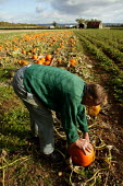 Farmworker harvesting pumpkins in a field in the Vale of Evesham. - John Harris - 2000s,2004,age,ageing population,agricultural,agriculture,by hand,capitalism,capitalist,country,countryside,crop,crops,cucurbita,EBF economy,elderly,farm,farm worker,farm workers,farmed,farmer,farmers