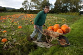 Farmworker harvesting pumpkins in a field in the Vale of Evesham. - John Harris - 2000s,2004,age,ageing population,agricultural,agriculture,by hand,capitalism,capitalist,crop,crops,cucurbita,EBF economy,elderly,farm,farm worker,farm workers,farmed,farmer,farmers,farmhand,farmhands,