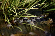 Common frogs, Rana temporaria, mating in a garden pond. - John Harris - 22-03-2005