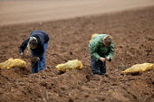 Young women migrant workers, probably students, from Slovakia and Poland planting Asparagus in a field in Warwickshire. - John Harris - 2000s,2005,AGRICULTURAL,agriculture,arable,back,bomfords,Bomfords Ltd,breaking,by hand,capitalism,capitalist,casual,crop,crops,cultivating,cultivation,Diaspora,EARNINGS,eastern European,EBF Economy,em