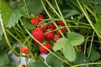 Strawberries in Bretforton. Fusion Personnel. - John Harris - ,2000s,2005,fruit pickers,picker,Strawberries,STRAWBERRY