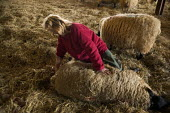 Shepherdess in the lambing shed, helping a ewe give birth, Worcestershire - John Harris - 03-06-2006