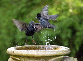Starlings splashing in a birdbath - John Harris - 2000s,2006,animal,animals,bath,bathe,bathing,bird,birds,eni environmental issues,garden,gardens,Starling,Starlings,Sturnidae,Sturnus,vulgaris,water